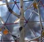 Aspen Tree 004